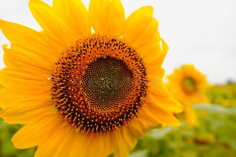 Selectieve en zachte nadruk Het gebied van zonnebloemen royalty-vrije stock foto