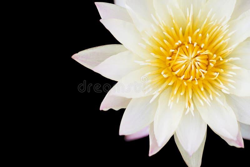 Selectieve nadruk van het witte lotusbloem bloeien royalty-vrije stock afbeeldingen
