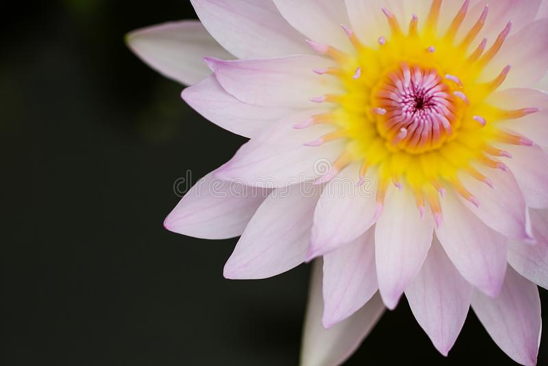 Selectieve nadruk van het zoete roze lotusbloem bloeien stock afbeeldingen