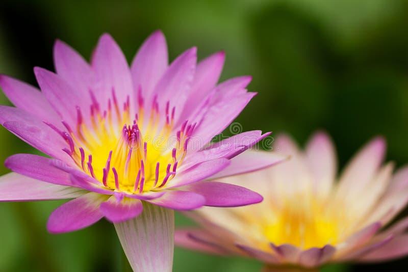 Selectieve nadruk van roze lotusbloem die op vage achtergrond bloeien stock foto's