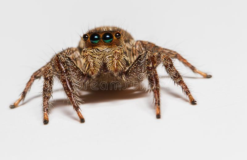 Selectieve nadrukmacro van het springen van spin op witte achtergrond stock foto's
