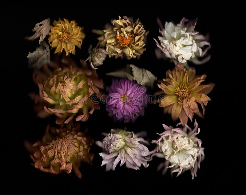 Selection of colourful Dahlia flowers on black background. Close up stock image