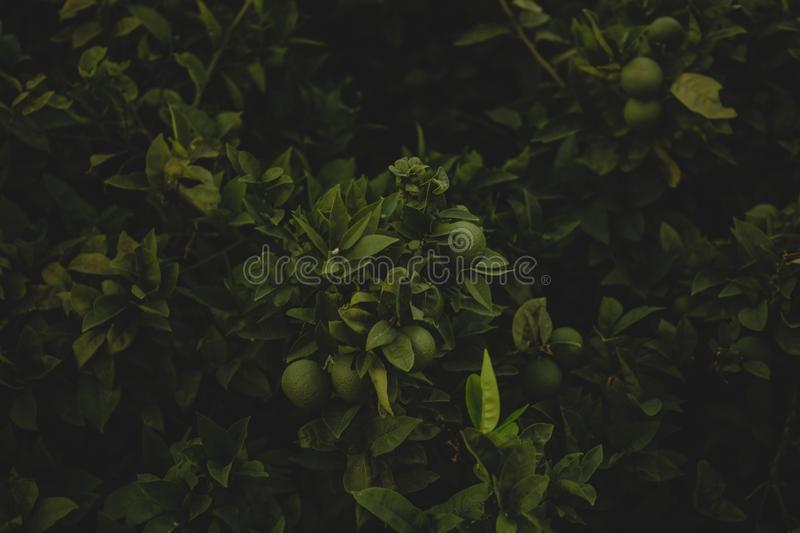 Selective closeup shot of green guava tree plants with green leaves royalty free stock photos