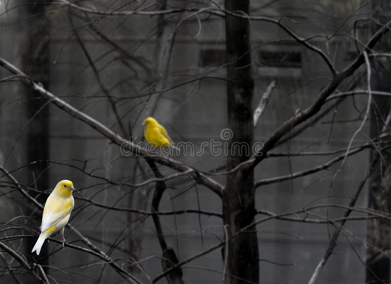 Selective Color Photo Of 2 Yellow And White Bird On Bare Tree Free Public Domain Cc0 Image