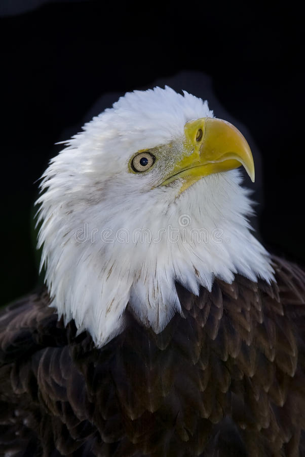 Selective Focus Bald Eagle Portrait Royalty Free Stock Images