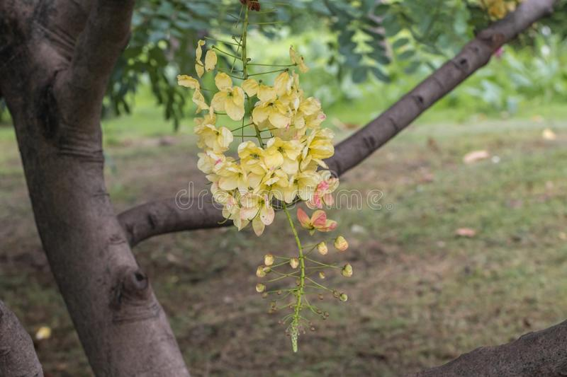 Selective focus beautiful Cassia Fistula flower blooming in a garden.Also called Golden Shower,Purging Cassia or Indian laburnum. stock images