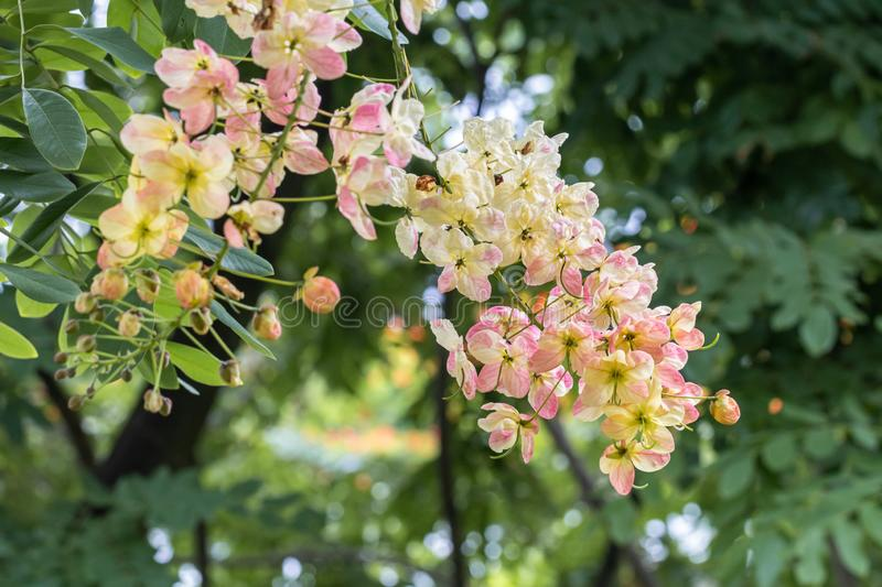 Selective focus beautiful Cassia Fistula flower blooming in a garden.Also called Golden Shower,Purging Cassia or Indian laburnum. royalty free stock photos
