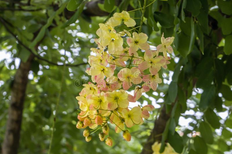 Selective focus beautiful Cassia Fistula flower blooming in a garden.Also called Golden Shower,Purging Cassia or Indian laburnum. royalty free stock photo