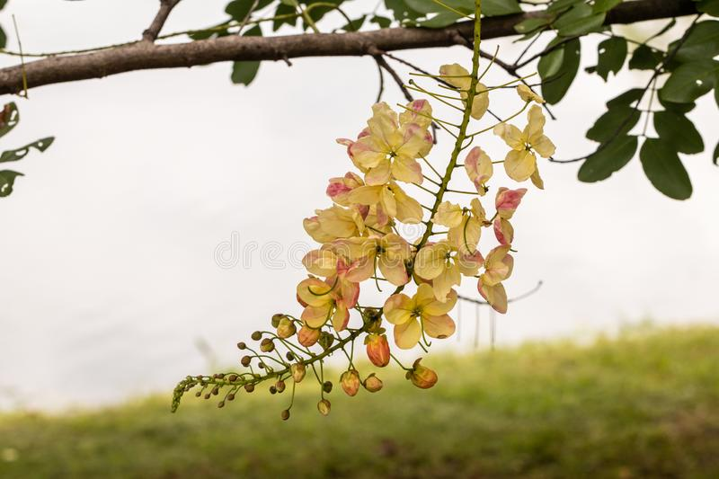 Selective focus beautiful Cassia Fistula flower blooming in a garden.Also called Golden Shower,Purging Cassia or Indian laburnum. stock photos