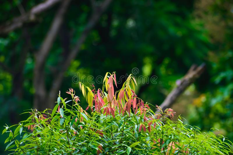 Selective Focus: Beautiful pink, green and yellow leaves on blur forest greenery background. royalty free stock images