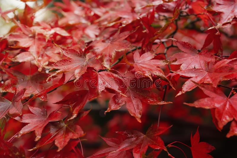 Selective focus of branches of Japaness red maple tree with rain drops in the morning, Red Autumn leaves with water drops after ra royalty free stock images