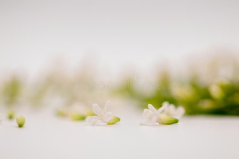 Selective focus Chinese Rose flower or Citharexylum Spinosum flowers on isolate white background.Common names include Florida fidd. Selective focus beautiful stock photography