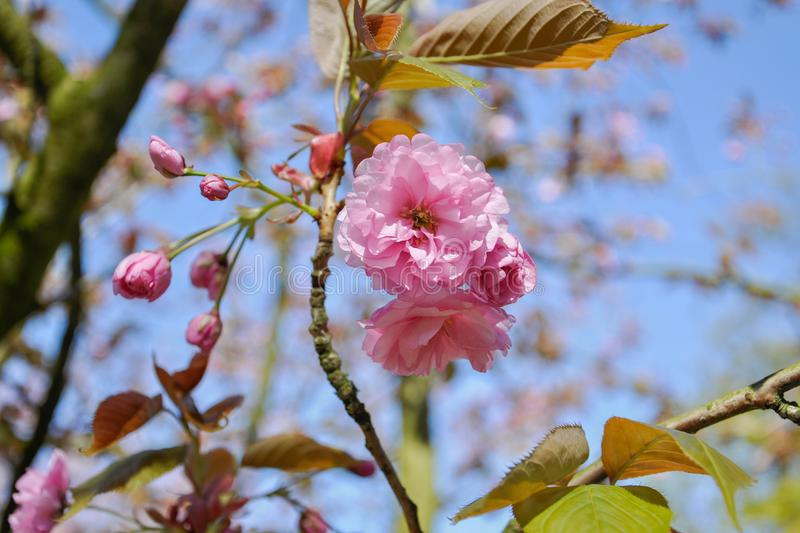 Selective focus close-up photography. Beautiful cherry blossom sakura in spring time over blue sky stock image