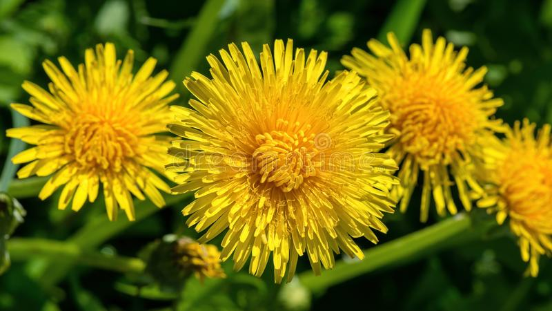 Selective focus close-up photography. yellow dandelion in the gr. Een meadow stock images