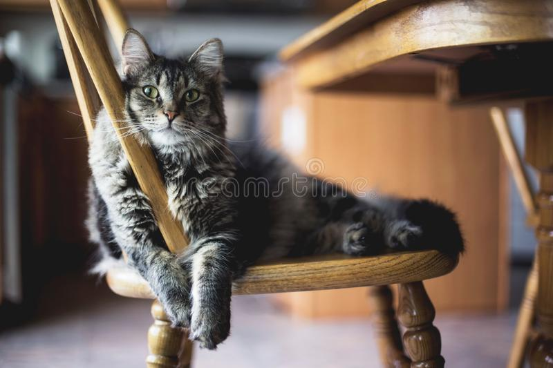 Selective focus closeup shot of a gray furry tabby cat sitting on a wooden chair royalty free stock photos