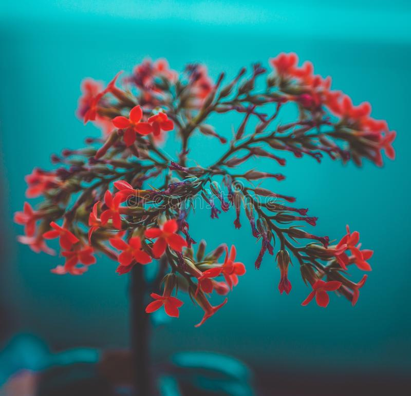 Selective focus closeup shot of red petaled flowers on a blue background. A selective focus closeup shot of red petaled flowers on a blue background royalty free stock photo