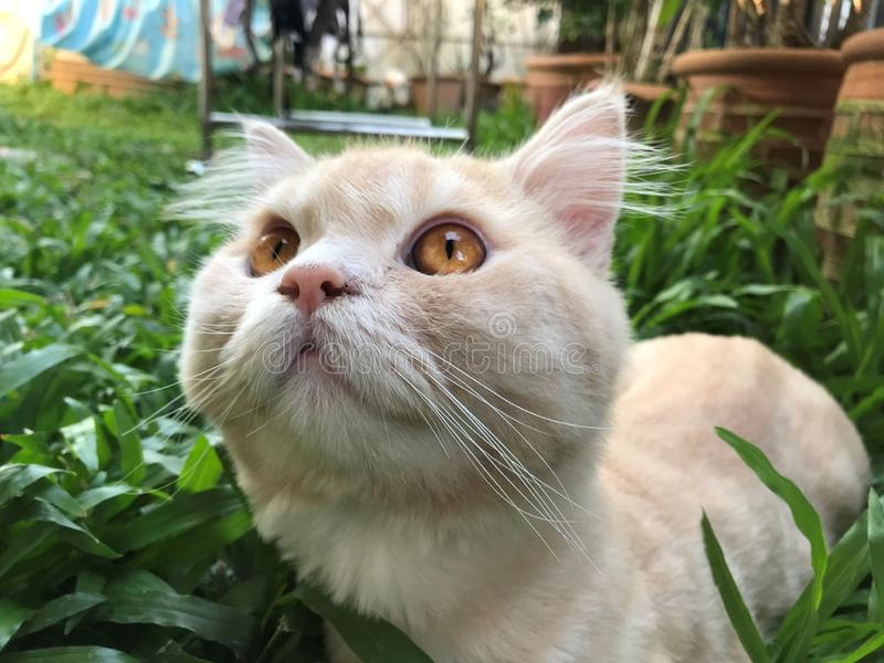 Cute young orange Persian cat face sit on green grass at bakyard. Selective focus on cute young orange Persian cat face sit on green grass at bakyard royalty free stock images