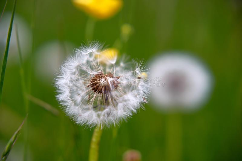 Selective focus on dandelion seeds in summer meadow. Macro stock images