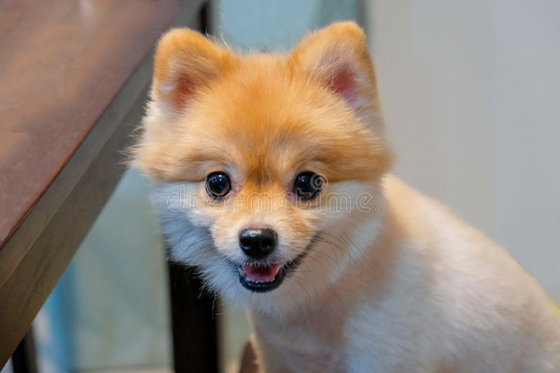 In selective focus of funny Adorable puppy dog sitting on wooden chair and looking at camera. Cute puppy in room, close up Pomeranian ,In selective focus of stock photo