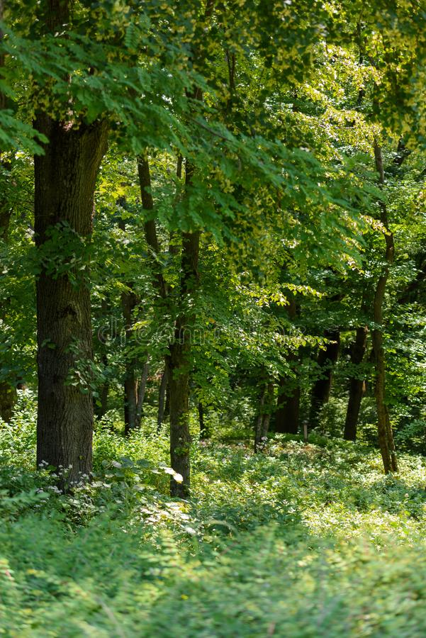 Selective focus of green trees and grass with sunlight. In forest royalty free stock photo
