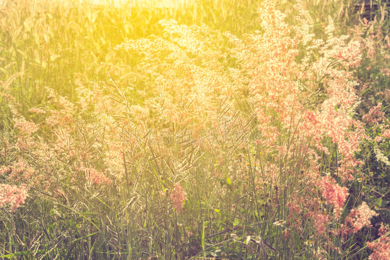 The selective focus of gress flowers in the field with sun light ef. Selective focus of gress flowers in the field with sun light effect, vintage toning color royalty free stock photography