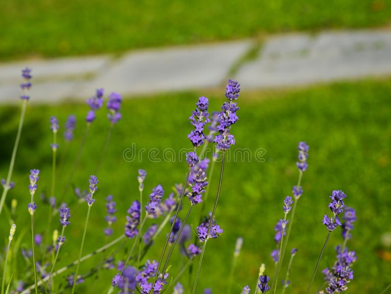 Selective focus on lavender flower in garden stock photos