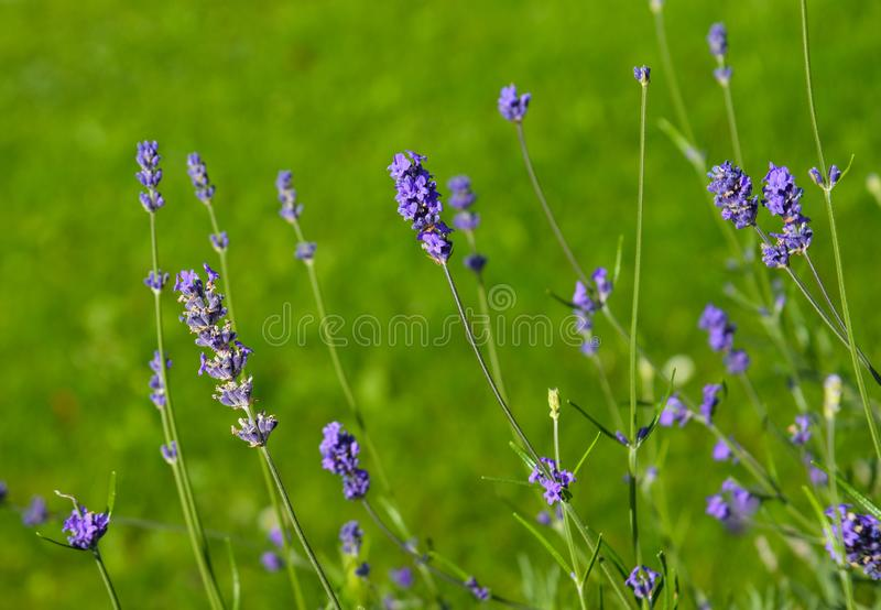 Selective focus on lavender flower in garden stock photography