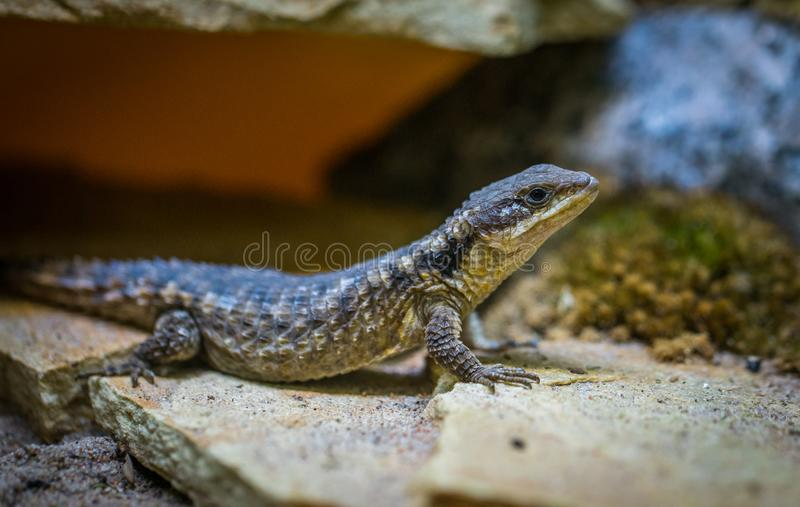 Selective Focus Photo of Black Lizard on Gray Surface royalty free stock images