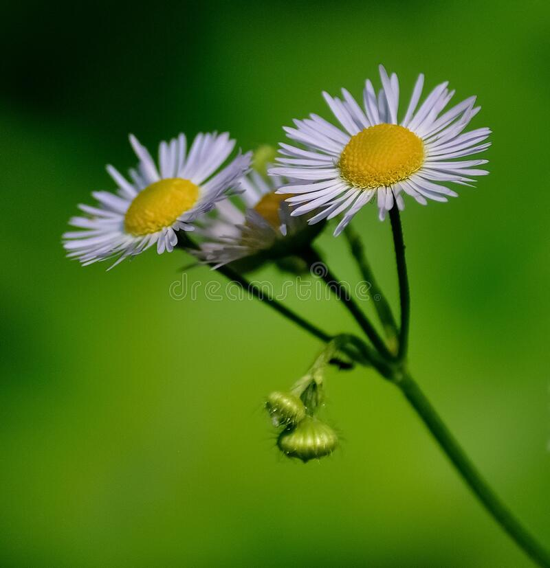 Selective Focus Photo Of Daisy Flowers Free Public Domain Cc0 Image