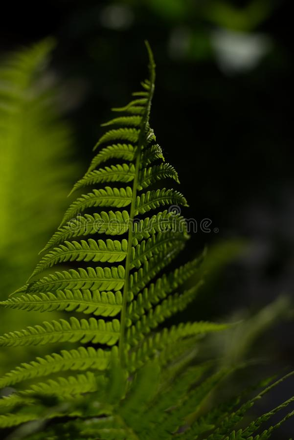 Selective Focus Photo of Fern Plant royalty free stock image