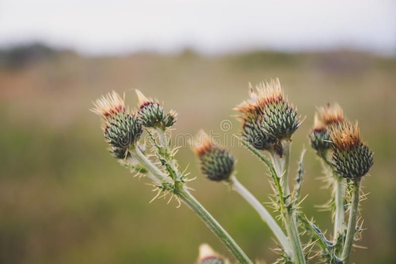 Selective Focus Photo of Green Thistle Buds at Daytime stock photo