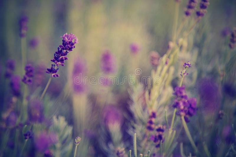 Selective Focus Photo of Lavender Flowers royalty free stock photo
