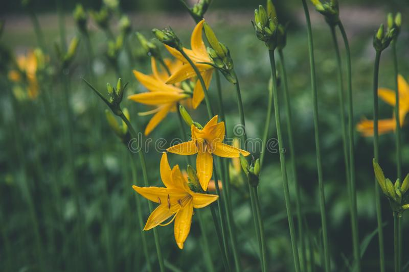 Selective Focus Photo Ofyellow Lilies royalty free stock images