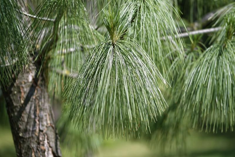 Selective Focus Photo of Pine Tree royalty free stock photo