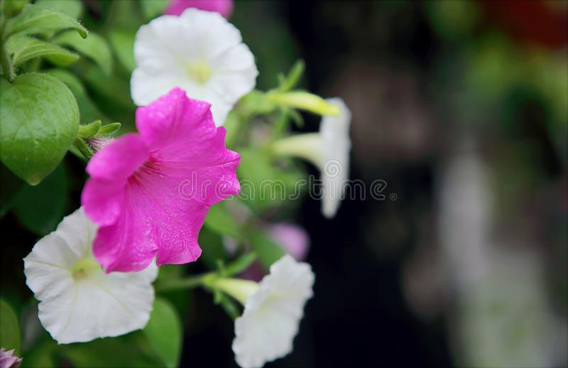 Selective Focus Photo of Pink and White Petaled Flowers royalty free stock photos