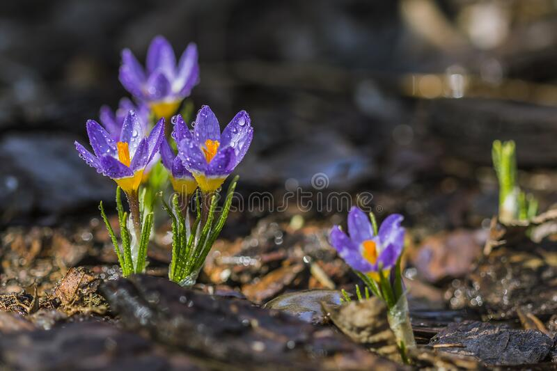Selective Focus Photo of Purple Petaled Flower With Water Droplet on Daytime stock photos