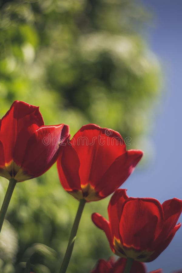 Selective Focus Photo of Three Red Rose Flowers royalty free stock images