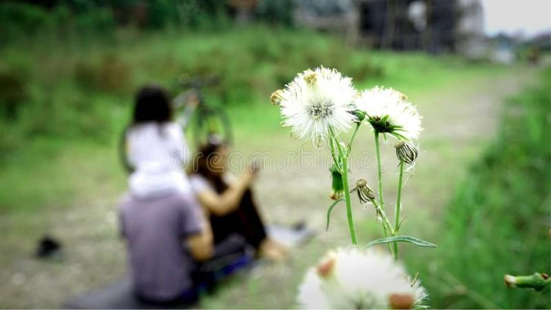 Selective Focus Photo of White Dandelion royalty free stock photo