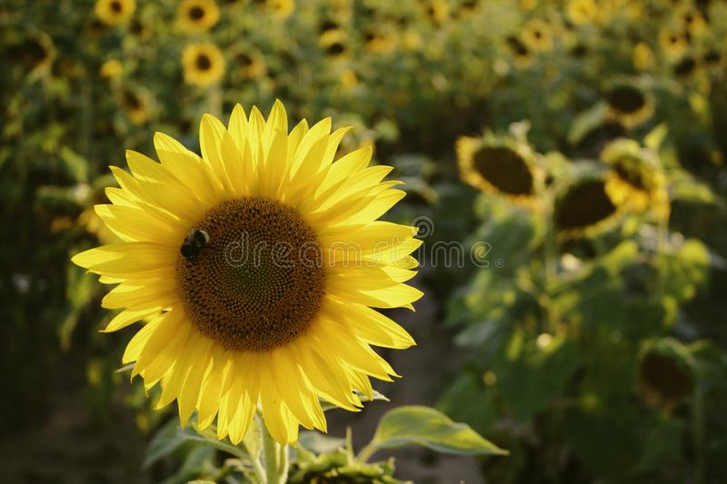 Selective Focus Photo of Yellow Sunflower stock photos