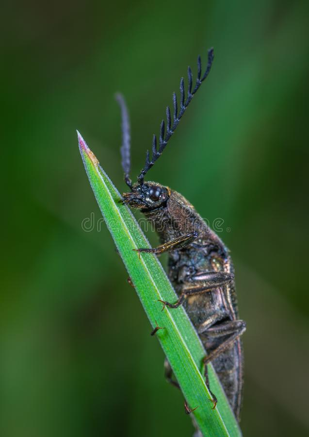 Selective Focus Photography of Black Leaf-horned Beetle Perched on Green Leaf stock photo