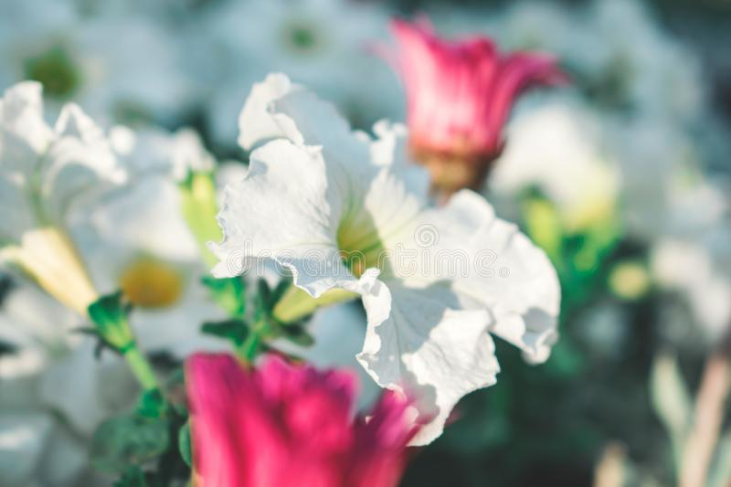 Selective Focus Photography of Blooming White Petaled Flower at Daytime royalty free stock images