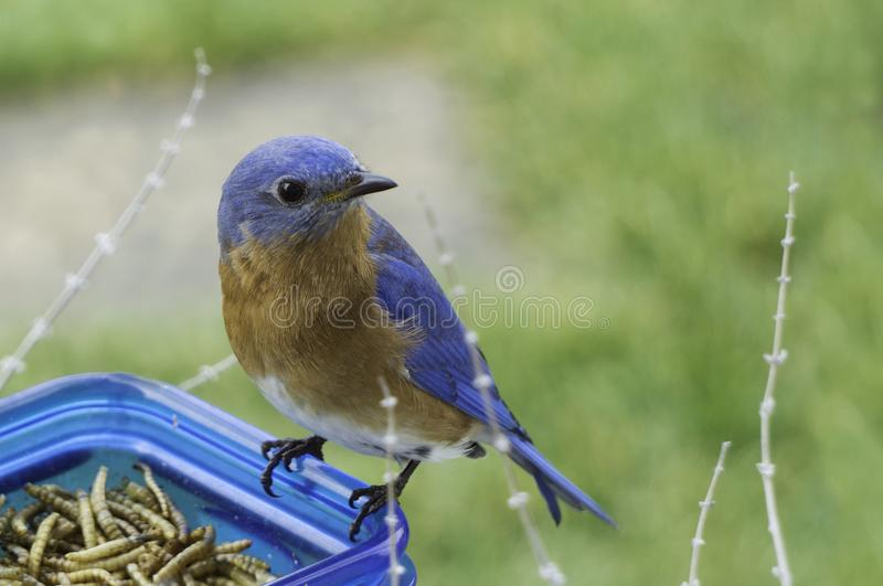 Selective Focus Photography of Blue and Brown Bird on Blue Glass Canister stock photography