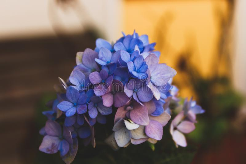 Selective Focus Photography Of Blue Hydrangea Flowers Free Public Domain Cc0 Image