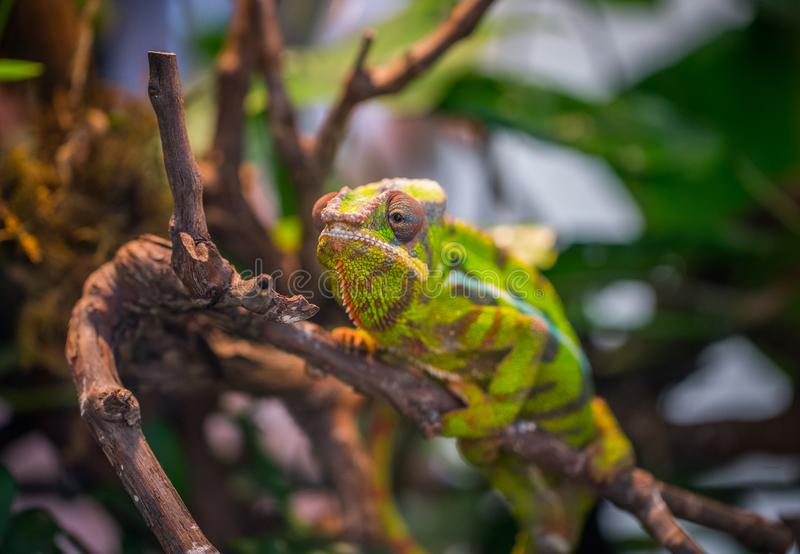 Selective Focus Photography of Green and Brown Chameleon Perched on Brown Tree Branch at Daytime royalty free stock images