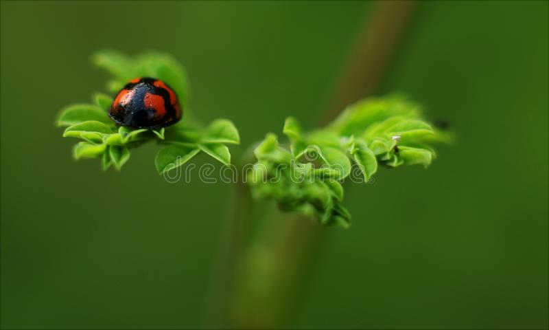 Selective Focus Photography of Ladybug royalty free stock photography