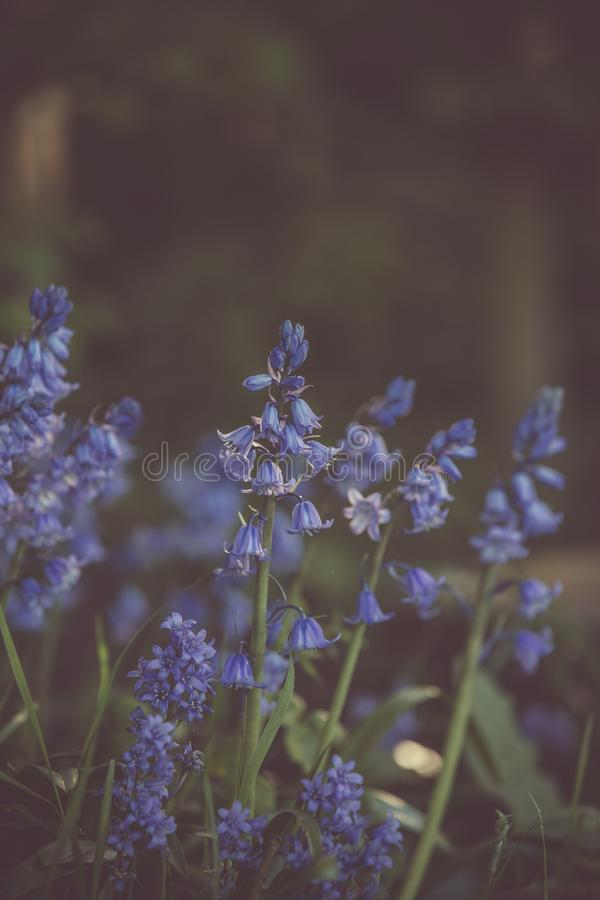 Selective Focus Photography of Lavender Flowers royalty free stock image