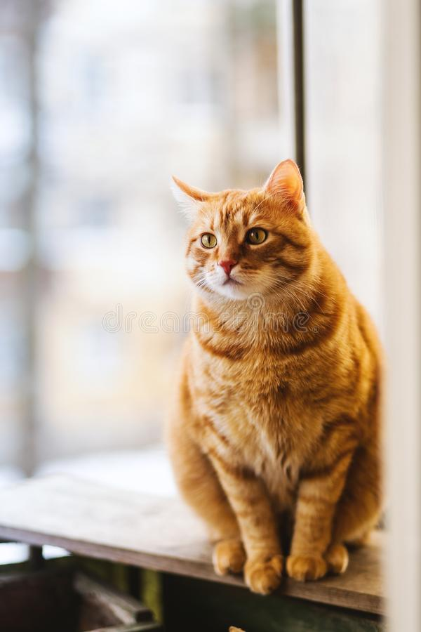 Selective Focus Photography of Orange Tabby Cat royalty free stock photo