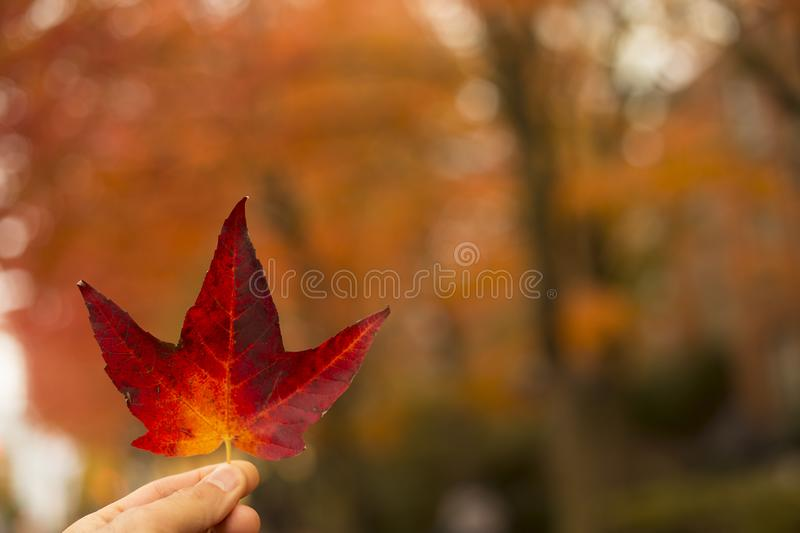 Selective-focus Photography of Person Holding Red Maple Leaf stock images