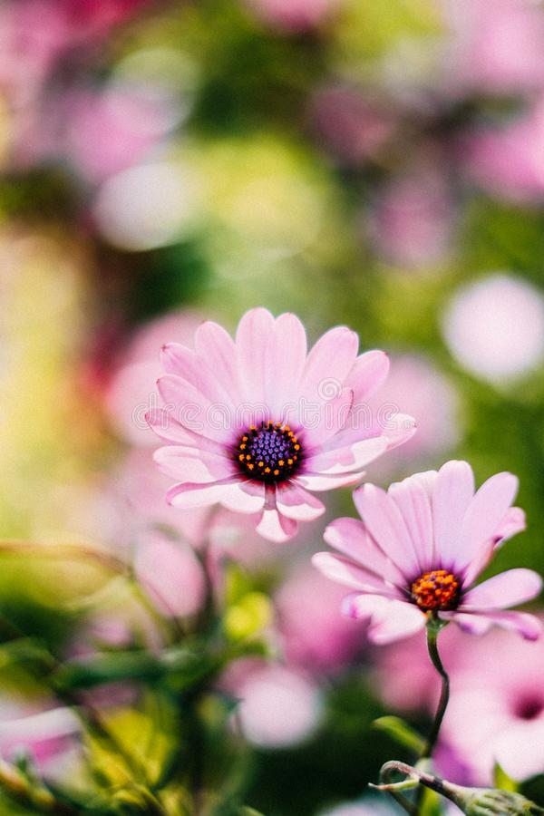 Selective Focus Photography of Pink Osteospermum Flowers stock image