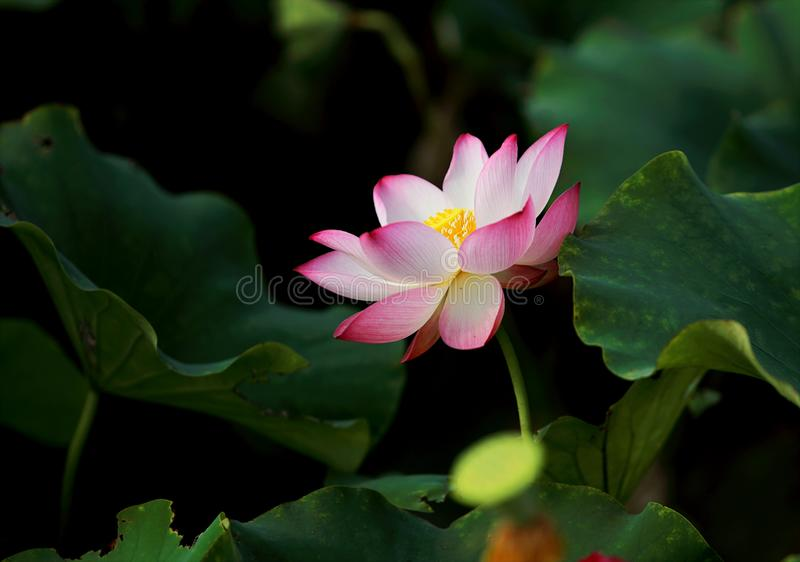 Selective Focus Photography of Pink Petaled Flower in Bloom royalty free stock photo